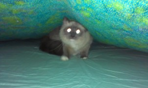 cat under blanket 2